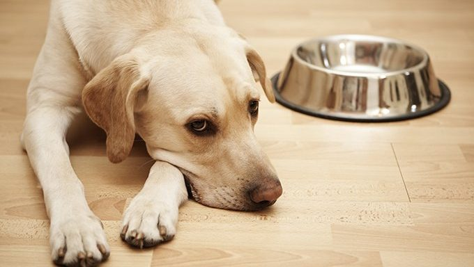 labrador lying next to empty food bowl