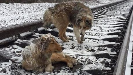 Dog Protects Injured Companion Stuck On Railroad Tracks For Two Days