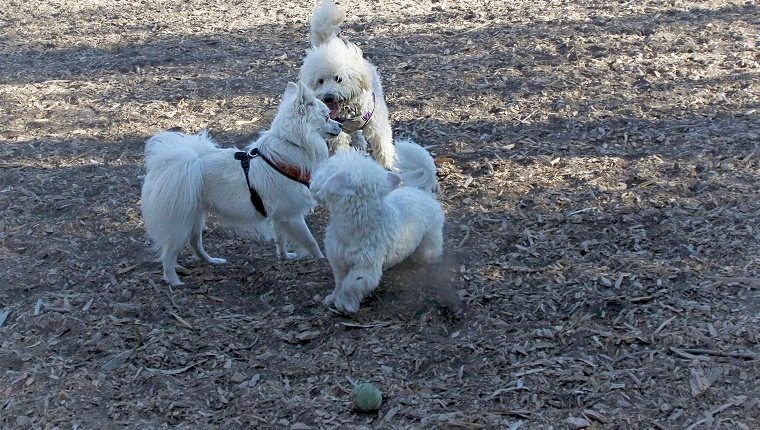 Three little dogs are playing together at the dog park.