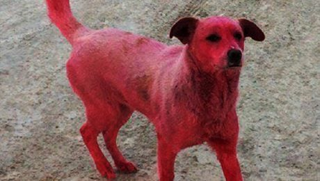 Police In Russia Search For Suspects Who Dyed Stray Dog Pink