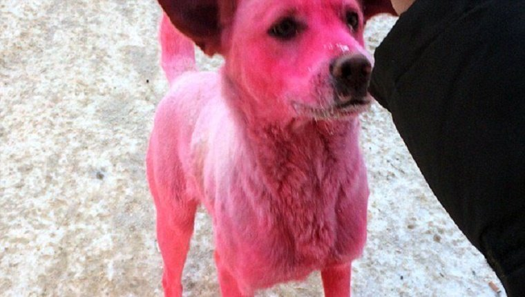 pink-stray-dog-dyed-russia-2
