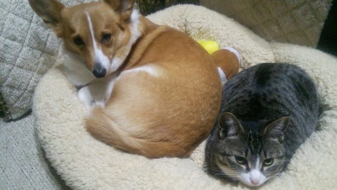 corgi and cat share bed