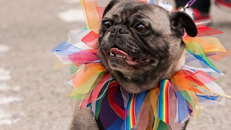 A small pug wearing a rainbow collar participating in the Seattle Pride Parade mid day.