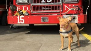 Abused Pit Bull Rescued From Crack House Becomes Firehouse Dog For FDNY