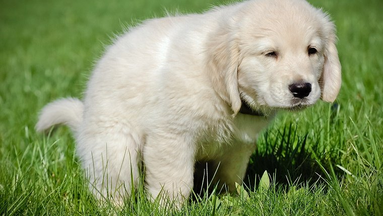 A cute golden retriever puppy, learning potty training