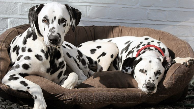Two Dalmatian dogs resting on brown tweed bed