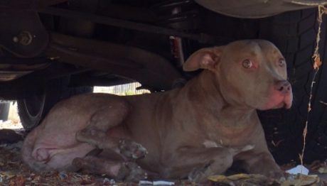Stray Pit Bull Hit By A Car Saved By Hope For Paws [VIDEO]