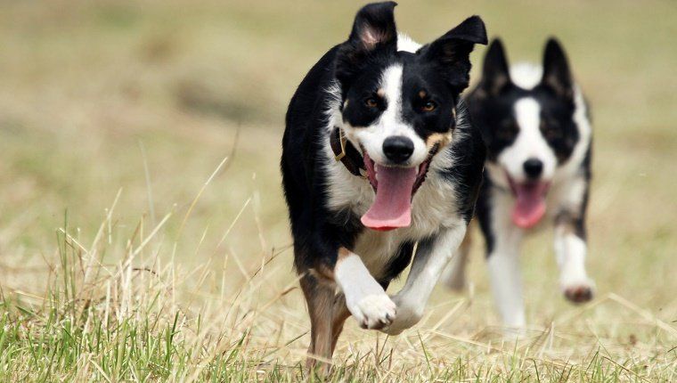 Border collies running