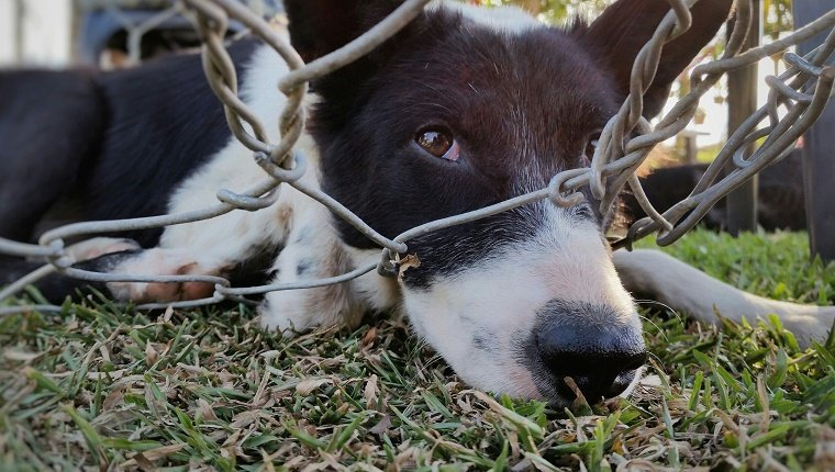 Close-Up Portrait Of Dog Stuck In Chainlink Fence On Grassy Field