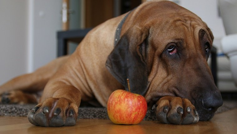 an apple and big paw of dog