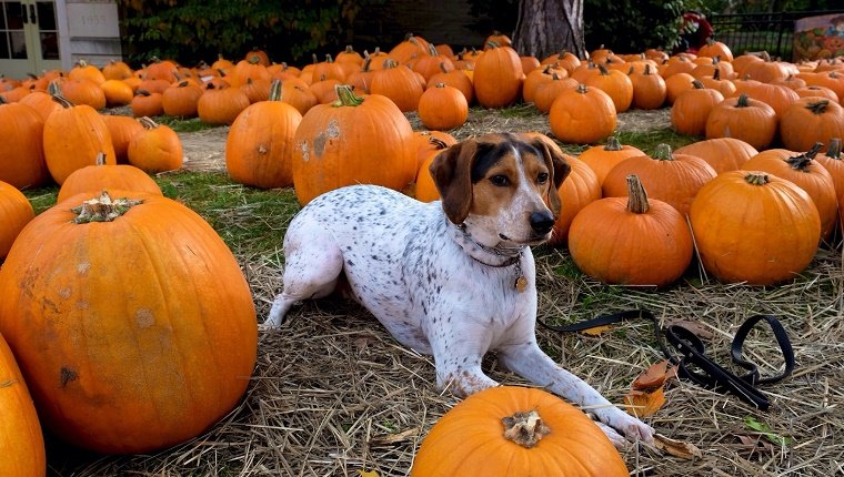 Dog Waiting In Pumpkin Patch