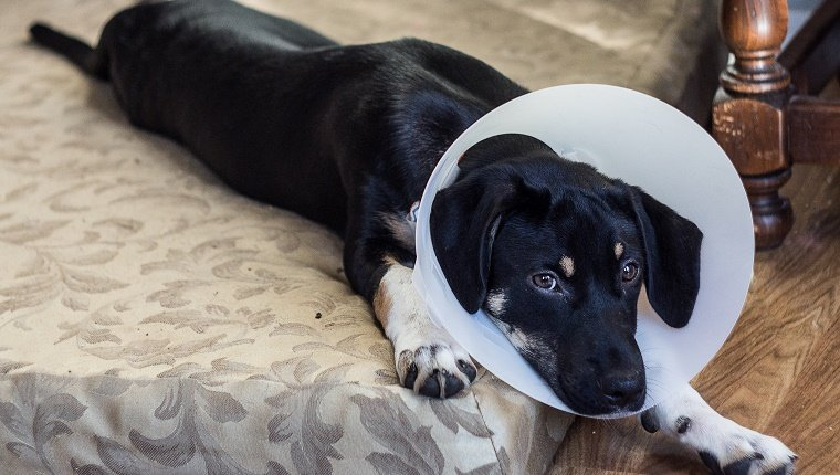 Puppy is unhappy about having to wear the cone of shame after surgery