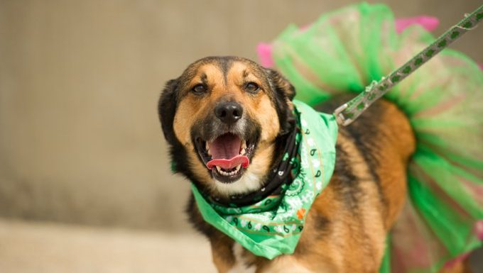 dog with st. patricks day bandanna and skirt