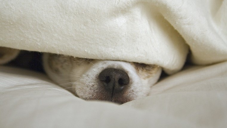 Chihuahua dog with black nose peeking out from under a white or ivory colored blanket on a bed.