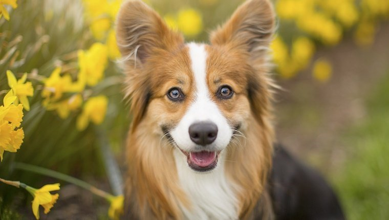 "Long-haired, ""fluffy"" Pembroke Welsh Corgi dog sitting among a row of beautiful spring daffodils and a white picket fence"