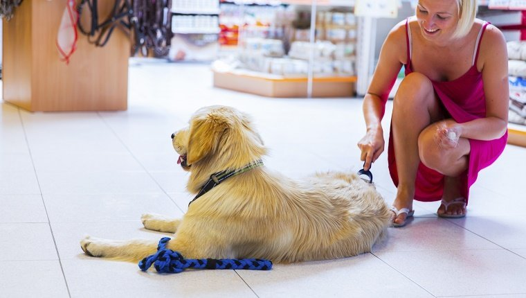 Golden retriever in pet store...young woman owner is brushing him
