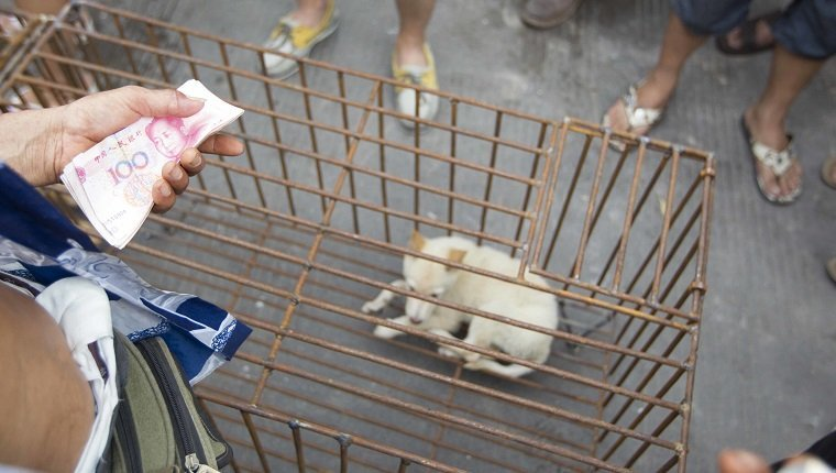 Dogs to be killed are caged at a free market ahead of the Yulin Dog Eating Festival in Yulin city, south China's Guangxi Zhuang Autonomous Region on 20th June 2014. About 10,000 dogs will be slaughtered for their meat at the Lychee and Dog Meat Festival in Yulin in Guangxi province on Sunday and Monday to mark the summer solstice, state media said.he tradition of eating dog meat dates back four or five hundred years in China, South Korea and other countries, as it is believed to ward off the heat of the summer months, according to state news agency Xinhua. (Photo by Jie Zhao/Corbis via Getty Images)