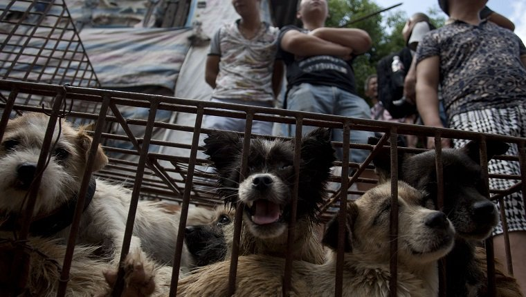 Vendors wait for customers to buy dogs in cages at a market in Yulin, in southern China's Guangxi province on June 21, 2015. The city holds an annual festival devoted to the animal's meat on the summer solstice which has provoked an increasing backlash from animal protection activists. CHINA OUT AFP PHOTO (Photo credit should read STR/AFP/Getty Images)