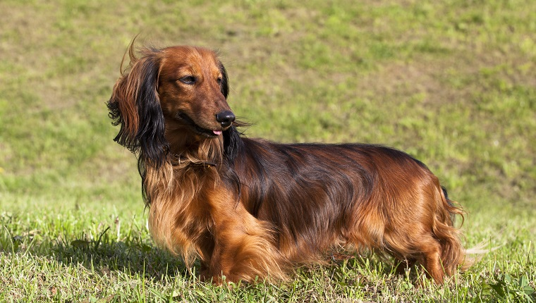 long-haired dachshund by standing on the green grass