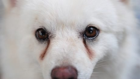 Tear Stains Under Dogs  Eyes  What They Mean And What You Should Do About 4e584e4a5