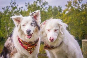 Double Merle Dogs Get Their Awareness Day