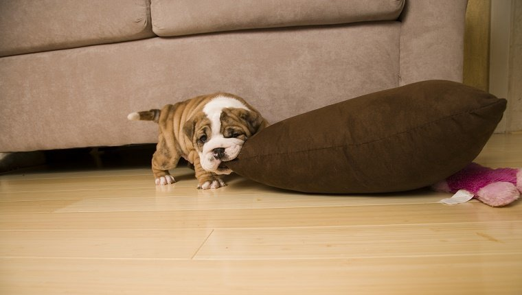 English Bulldog puppy biting pillow