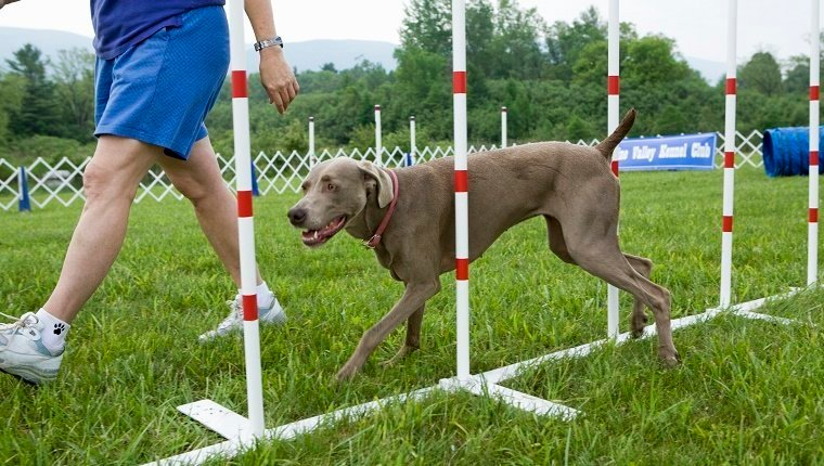 Best Dog Breeds For Dog Trainer