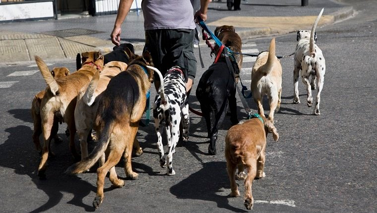 Rear view of a man walking a group of dogs