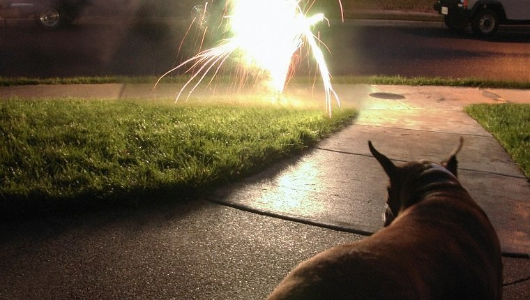 Dog watching fireworks on Independence Day.