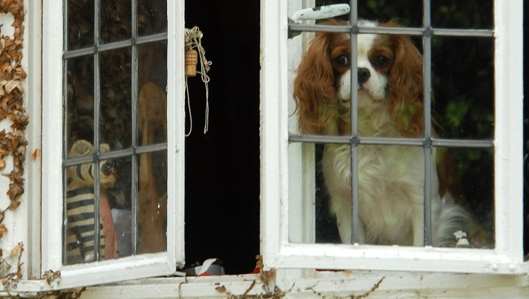 """A Cavalier King Charles Spaniel staring mournfully from a cottage window, Worcestershire."""