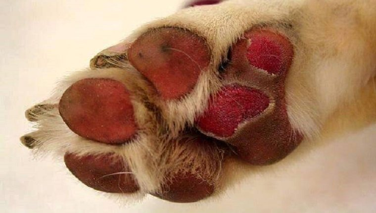 Hot Pavement The Damage It Can Do To Your Dog S Paws And