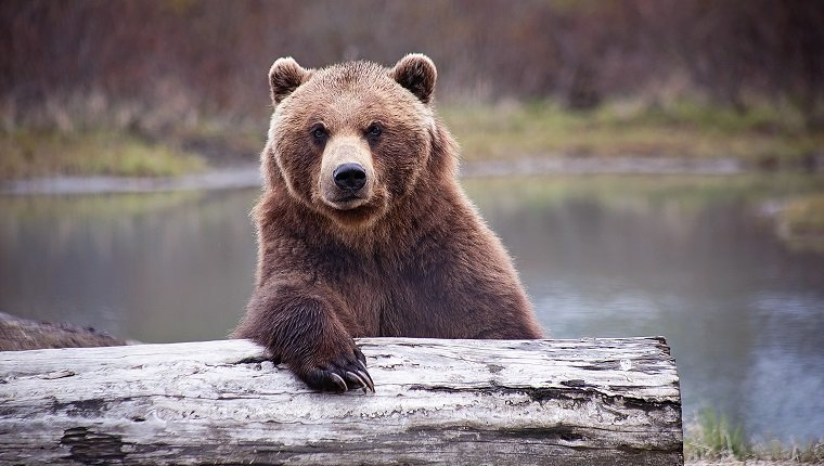 Brown bear relaxing on a log near a pond