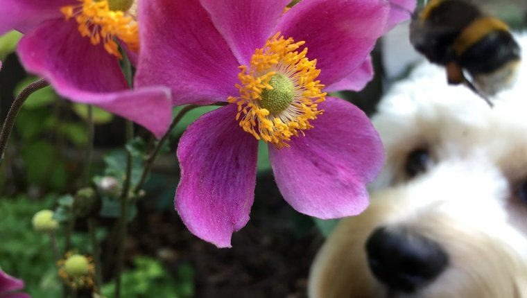 Close-Up Of Bumblebee And Dog By Pink Flower Blooming Outdoors