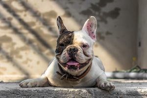 Why Summer Heat Can Be Deadly To Brachycephalic Dogs