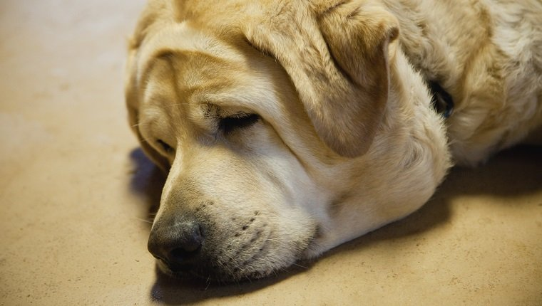 Close-up of labrador sleeping