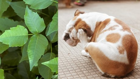 Poison Ivy And Dogs: What It Looks Like, Symptoms, And Treatment