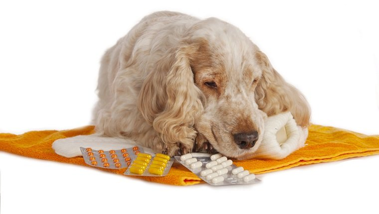 spaniel dog with pills isolated lying down