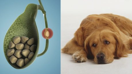 Gallstones In Dogs: Symptoms, Causes, And Treatments