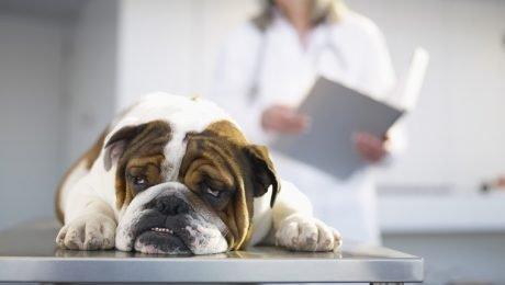 Leukemia In Dogs: Symptoms, Causes, And Treatments