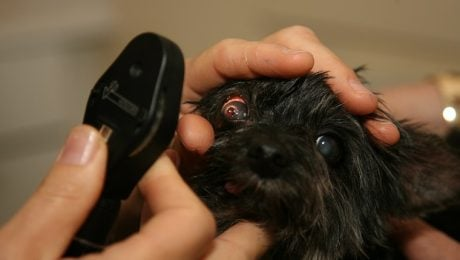 Pink Eye (Conjunctivitis) In Dogs: Causes, Symptoms, And Treatment
