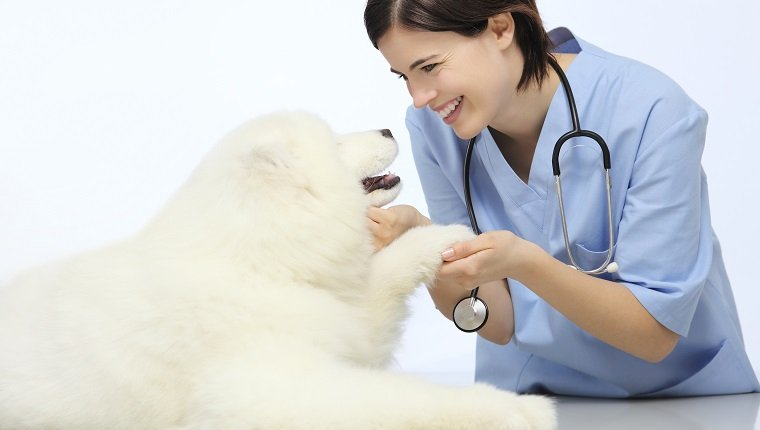 smiling Veterinarian examining dog paw on table in vet clinic