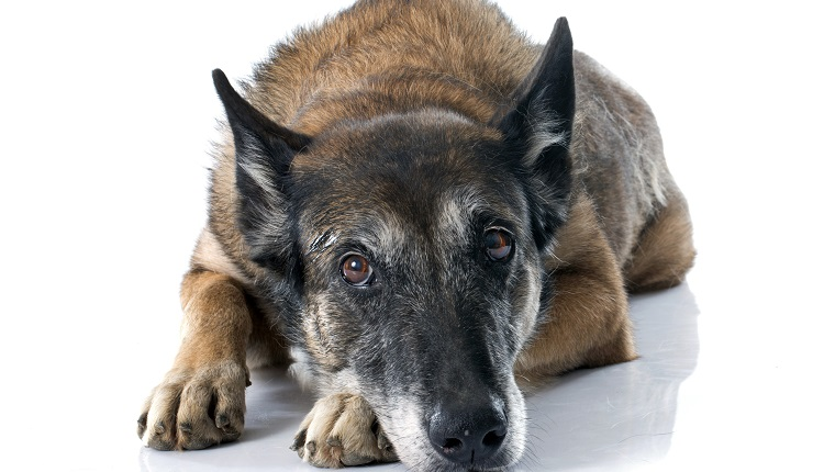 Meloxicam Metacam For Dogs Uses Dosage Amp Side Effects