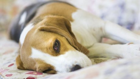 Ataxia (Loss Of Balance) In Dogs: Symptoms, Causes, And Treatments