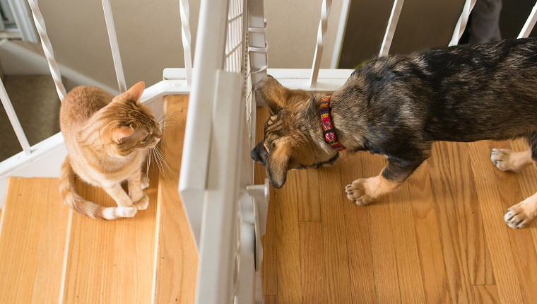 An orange striped tabby cat sits on the stairs and stares disdainfully at a curious German shepherd dog puppy on the other side of a plastic baby gate.