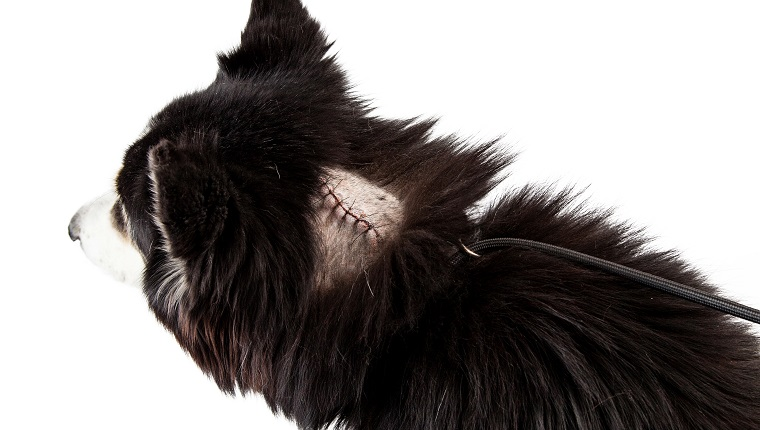 Dog with a shaved area of fur revealing stitches on a large cut from a recent surgery to remove a tumor. Image taken isolated on a white studio background.