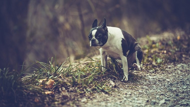 Boston terrier waiting on footpath.