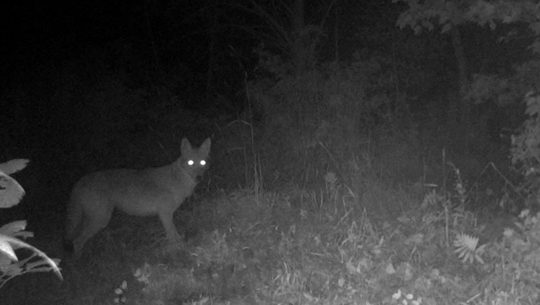 A coyote is caught on camera during the night. Photographed by a motion activated trail camera, in Pembroke, Ontario, Canada.