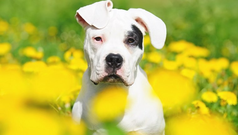 The portrait of a young Dogo Argentino dog with natural ears in dandelions