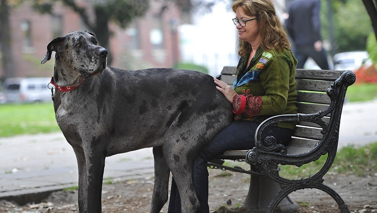 7 Great Danes Who Think They're Lap Dogs [VIDEOS] - Dogtime