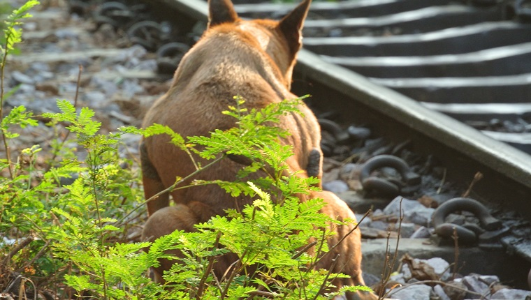 Dog Defecating By Railroad Track